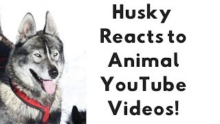 Husky Dog REACTS to viral animal YouTube Videos!