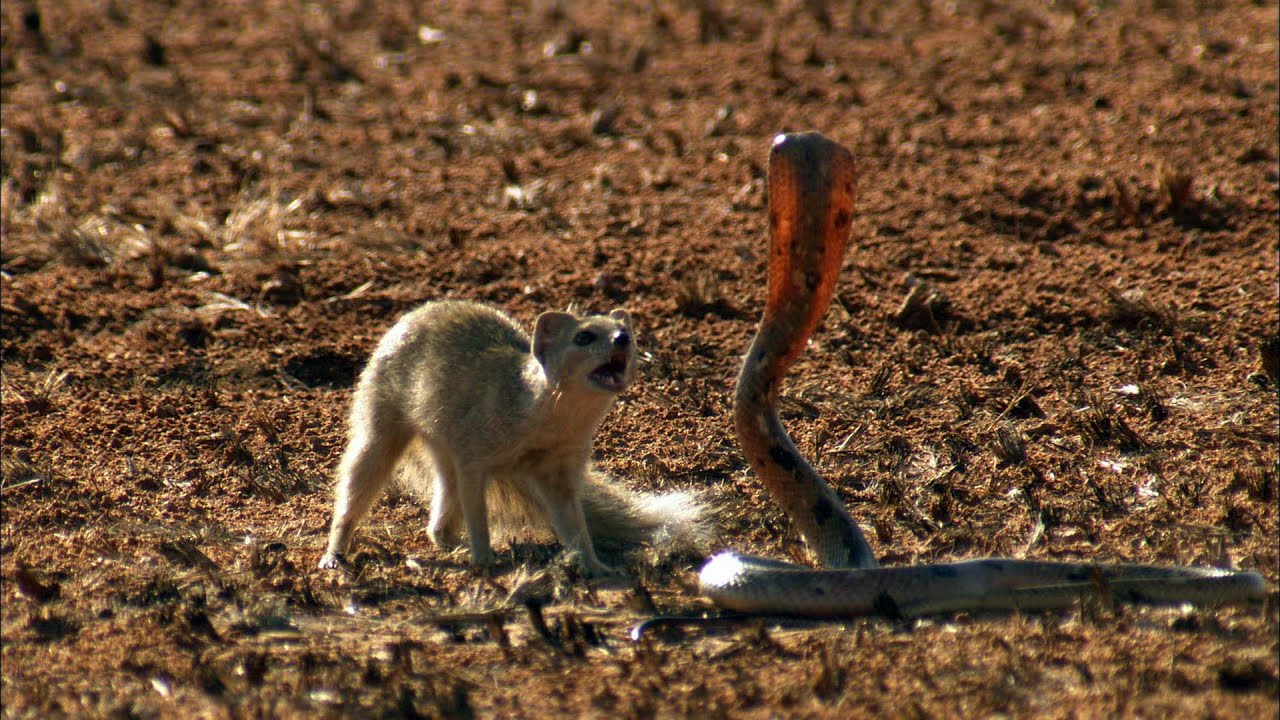 Mongoose Vs Cobra Youtube