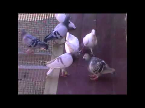 Homing Pigeons - Short clip of some of my birds