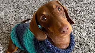 38 Playful Dachshund Dogs Try Not To Laugh Videos Compilation   Instagram funny dogs Videos