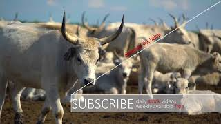 ⚠️ hungarian grey cattle - STOCK VIDEO / www.calmprosstock.com