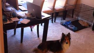 Why Shelties Are The Best Dogs!