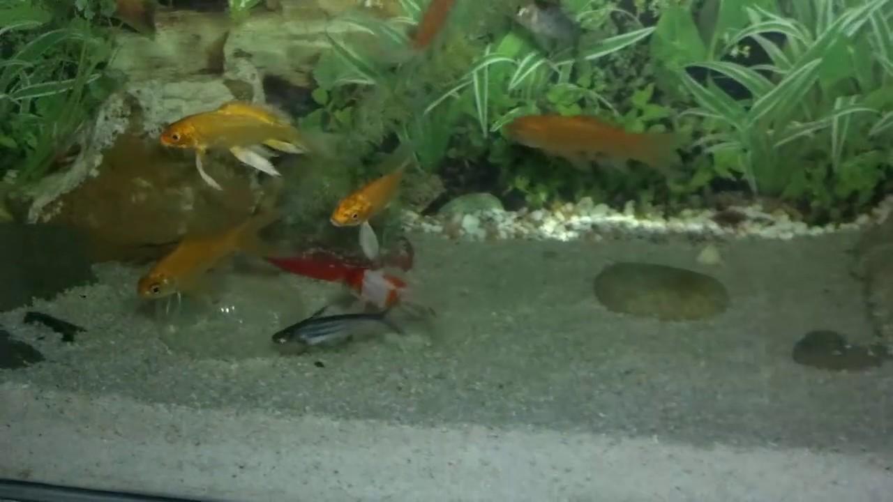 Koi fish in aquarium care - Freshwater Aquarium Maintenance Goldfish Aquarium Care Winter Protection Urdu Hindi