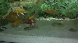 Freshwater Aquarium Maintenance | Goldfish Aquarium Care | Winter Protection (Urdu/hindi)