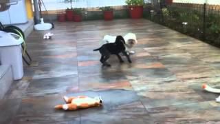 Deutsch Drahthaar Puppy  Www.brac-german.com