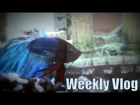 Fishy Vlog - Fin Rot In Crowntail Betta Fish (Vlog #132)