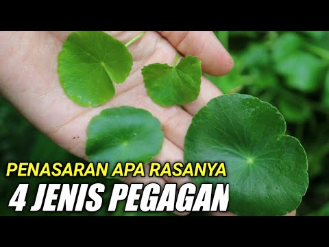 Mencoba Rasa 4 Jenis Pegagan Eating Raw Hydrocotyle And Cantella Asiatica Youtube