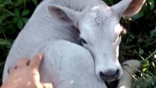 Momma Cow Hides newborn baby