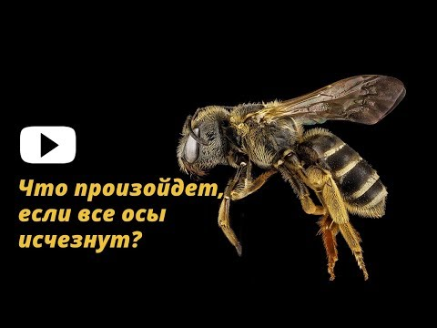 Что произойдет, если все осы исчезнут?