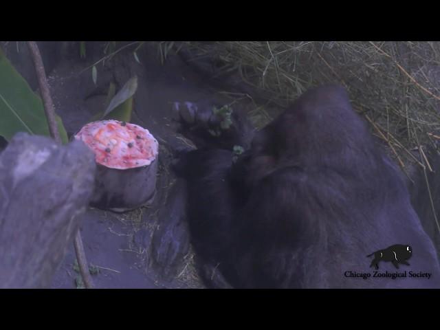 Ramar, North Carolina Zoo's first gorilla, dies at age 50 in
