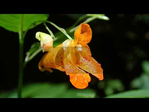 Interesting Jewelweed Facts