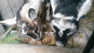 (13)odc kotne kozy w hodowli.