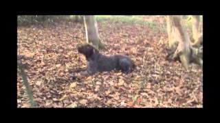 Jagdhunde - Suche/ Schleppe - Deutsch Drahthaar