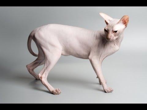 The Sphynx Cat  - Teacher Tuesdays w/ Scar