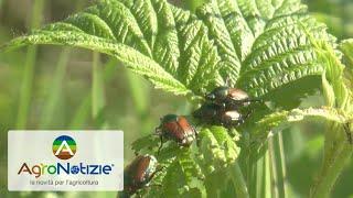 Popillia japonica: le testimonianze degli agricoltori
