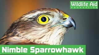 Trapped sparrowhawk gives rescuers the runaround!
