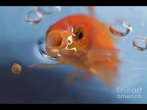 Goldfish Feeding