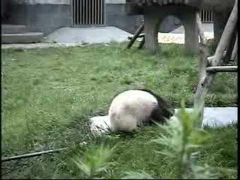 Baby pandas at Wolong Nature Reserve