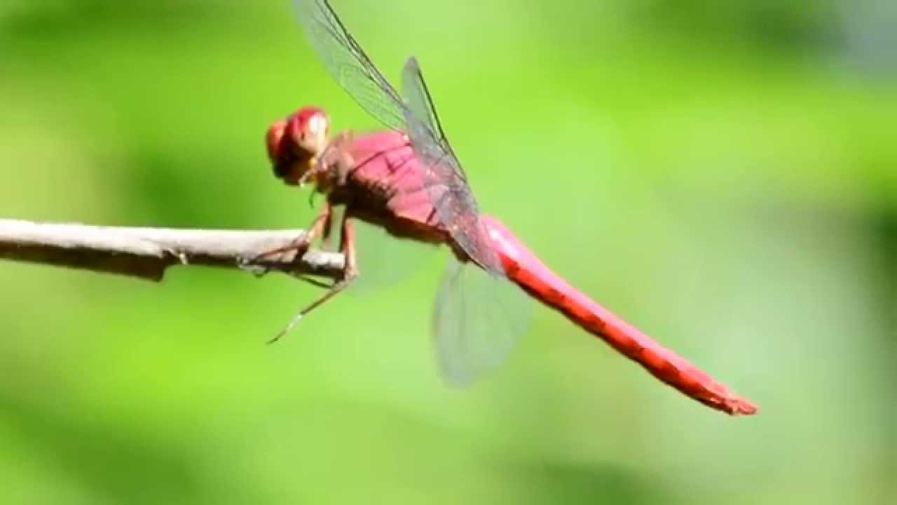 Anatomy of a dragonfly - YouTube