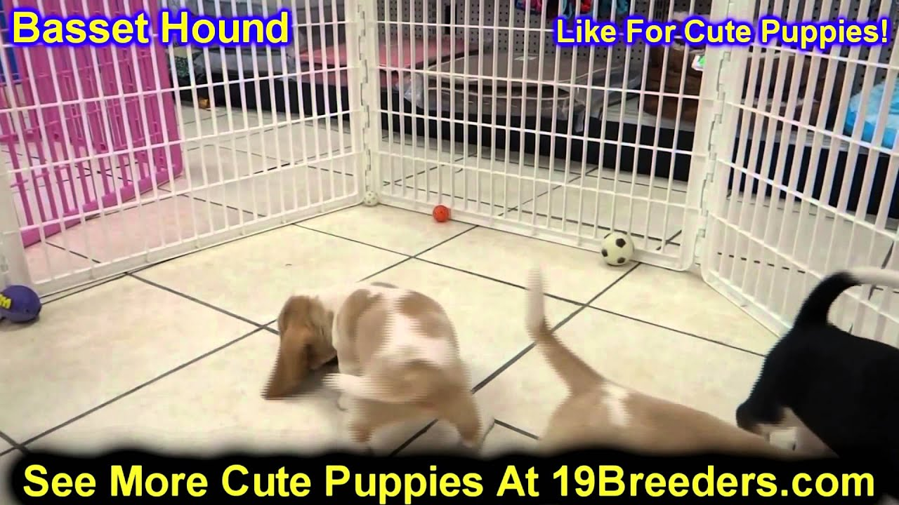 Basset Hound Puppies Dogs For Sale In Charleston South Carolina