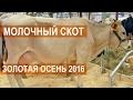 Молочный скот на выставке Золотая осень 2016