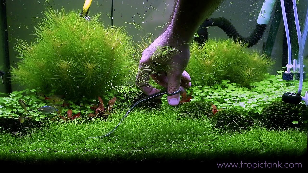 Images Of Plants Eleocharis Parvula Fast Trimming Youtube