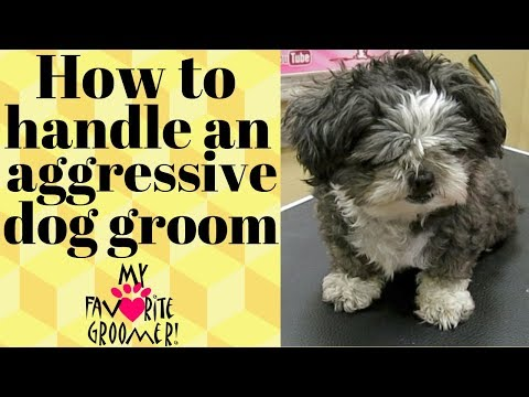 How to groom a mean Shih Tzu
