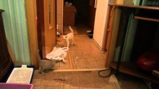 Бесилово тонкинских котят. Продаются. 89535004508.