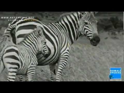 Exclusive: The Wildlife of Somalia - 1956 /  Central Somalia