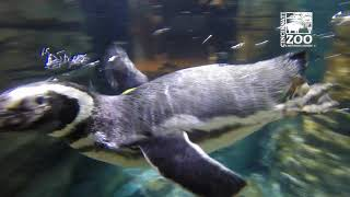 World Penguin Day - Cincinnati Zoo