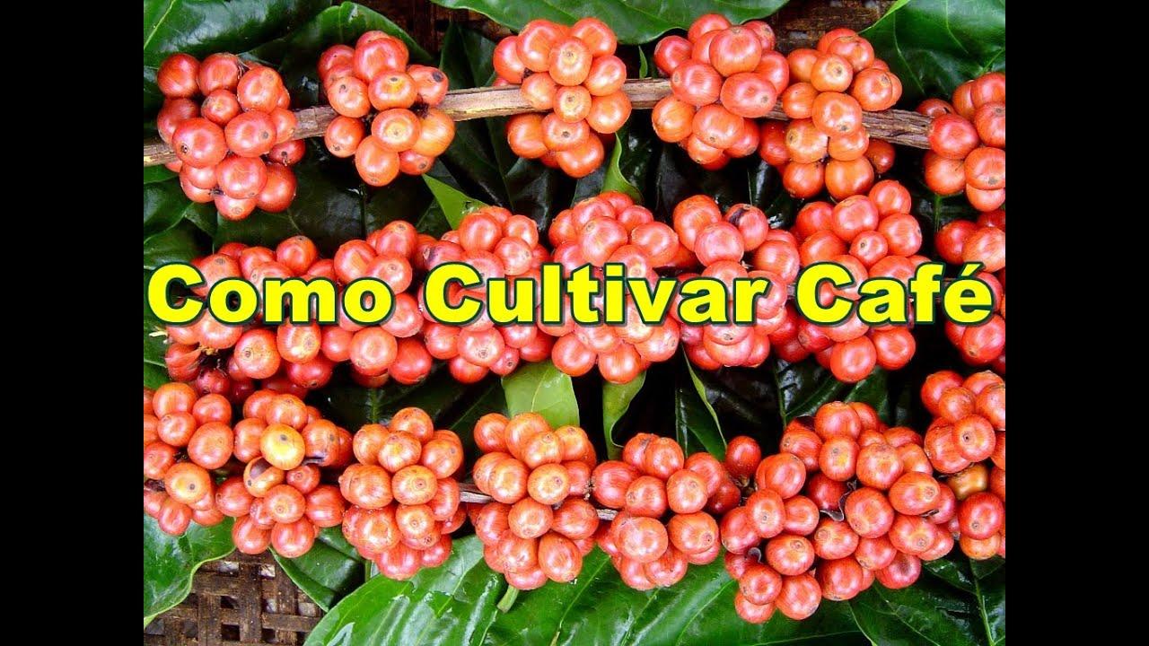 Mondini plantas como cultivar caf youtube for Como cultivar plantas ornamentales