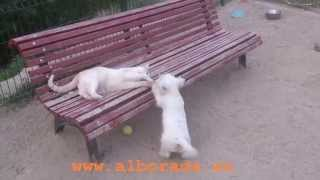 Cachorra Westy Agata Criadero De  Westys Alborada, Agata, Westie Puppy Alborada Westie Breeder
