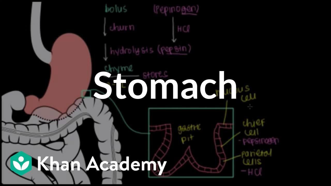 Stomach | Gastrointestinal system physiology | NCLEX-RN | Khan Academy