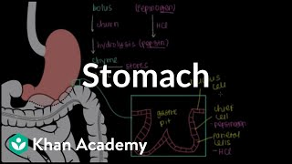 Stomach | Gastrointestinal system physiology | NCLEX-RN | Khan Academy