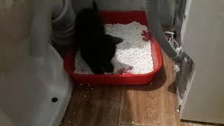 Котенок 1,5 месяца ходит в лоток