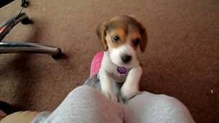 Beagle Pup Doing The Famous Head Tilt To Me Whistling @ 10 Weeks Old