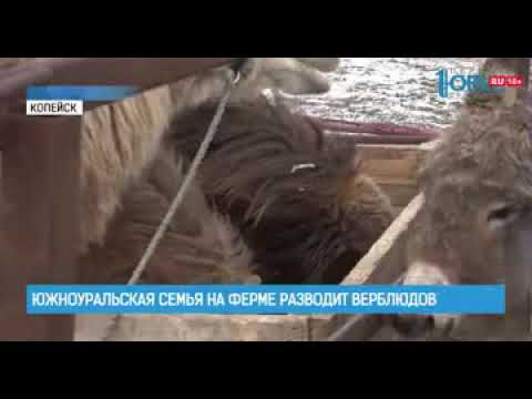Южноуральская семья на ферме разводит верблюдов