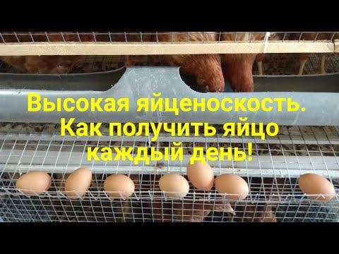 Вопрос: Какая яйценоскость у куриц – несушек считается нормальной?