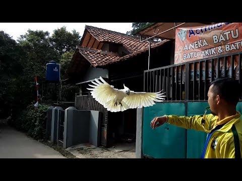 Kakatua Jambul Kuning Burung setia dan pintar