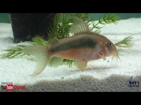 How To Care For Corydoras Eggs And Fry