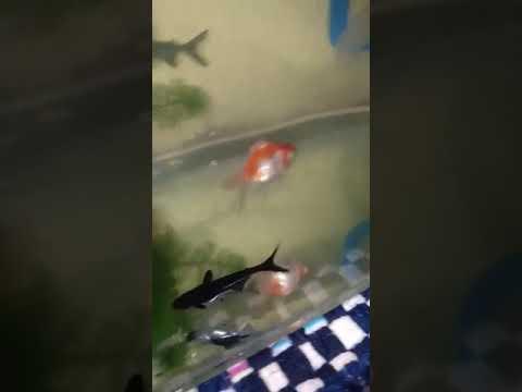 80+ Gambar Ikan Hiu Tawar HD Terbaik