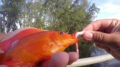 Fishing for Exotic Cichlids in Florida (Opa-Locka, FL)