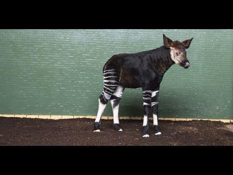 London Zoo names okapi Meghan to celebrate royal wedding
