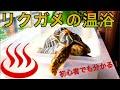 【初心者でも分かる】リクガメの温浴の仕方 の動画、YouTube動画。