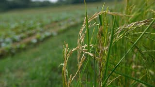 Closeup shot of ripened rice ears ready for harvesting in India - farming concept - Village Scene
