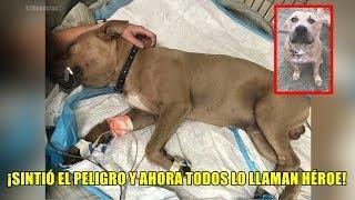 Él es Zeus, el perro Pitbull del que todo mundo está hablando, ¡Lo que hizo fue heroico!