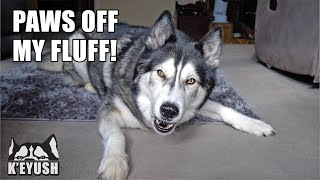 Arguing With My Husky About His Shedding!