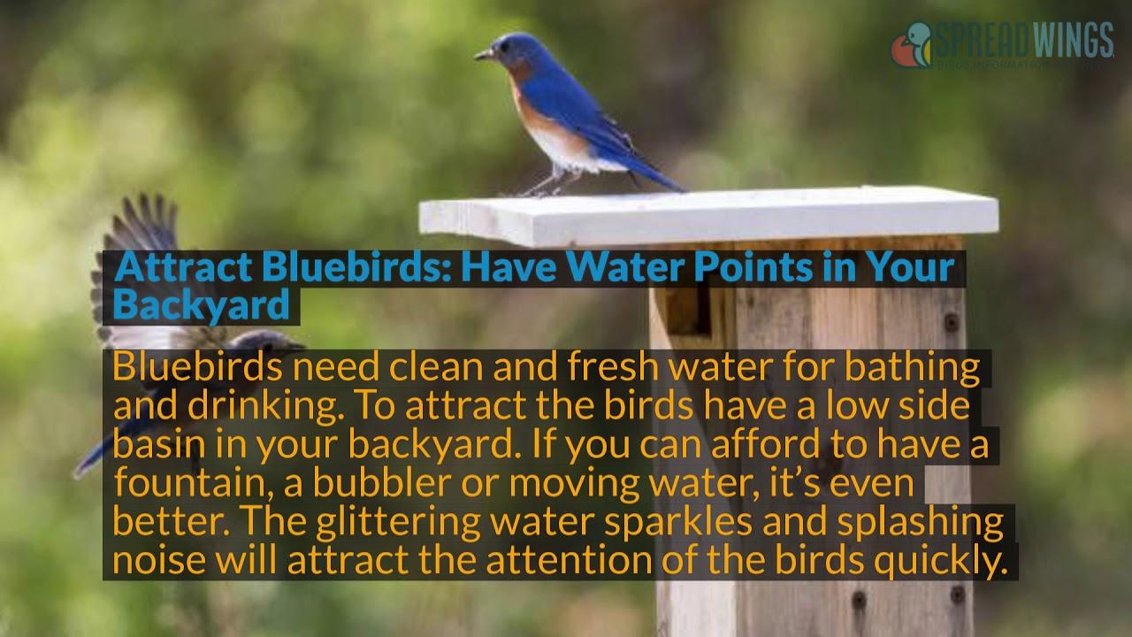 How To Attract Bluebirds To Your Backyard | BIRD | spreadwings