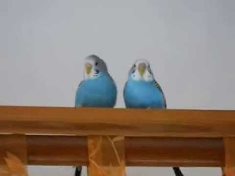 Blue Love Birds