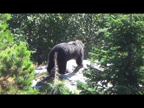 Dangerous Idaho Grizzly Bear